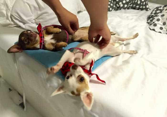 2 adorable chihuahuas on backs getting belly rubs