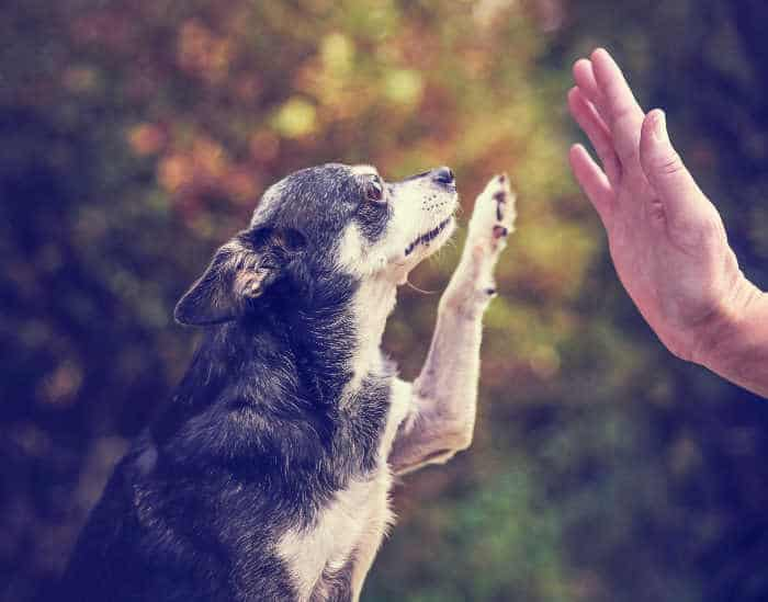 chihuahua giving high five to person's hand
