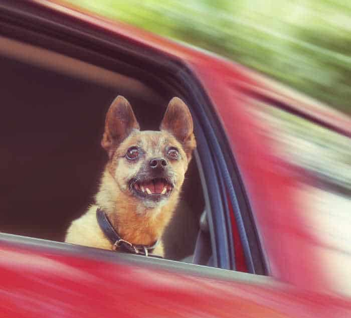chihuahua looking out the window in red car