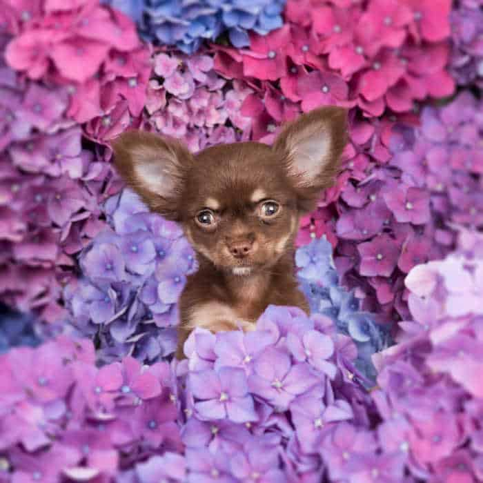 chihuahua puppy with lots of purple flowers around them