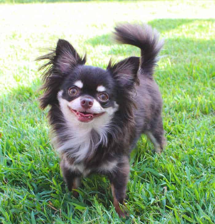 happy long hair chihuahua in grass
