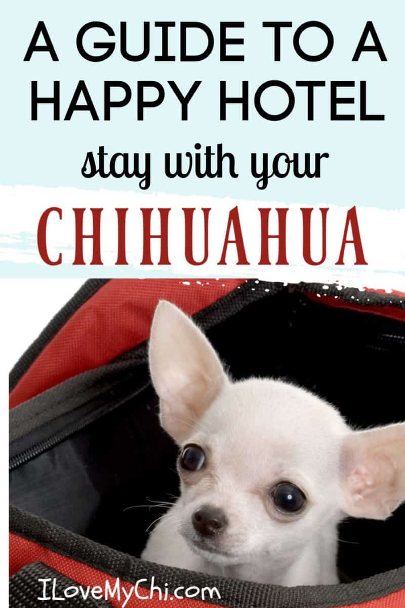 white chihuahua in travel bag