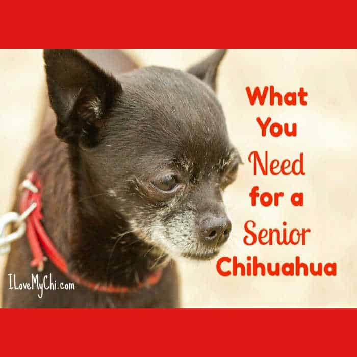 older black chihuahua with red collar