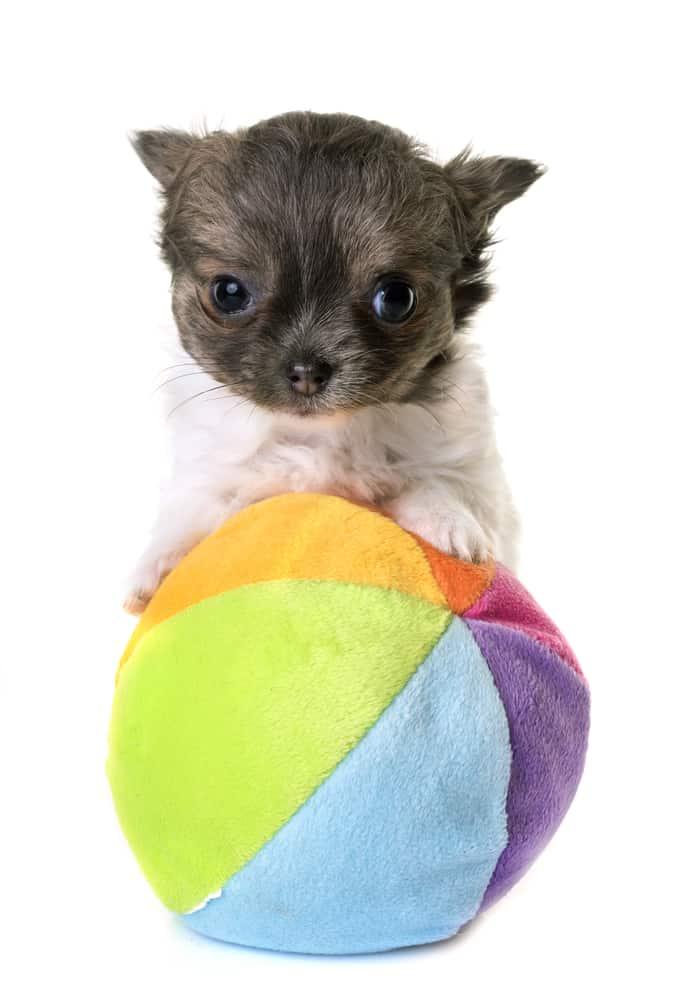 adorable chihuahua puppy playing with ball