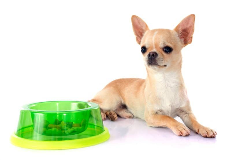fawn colored chihuahua puppy sitting by neon green dog food bowl