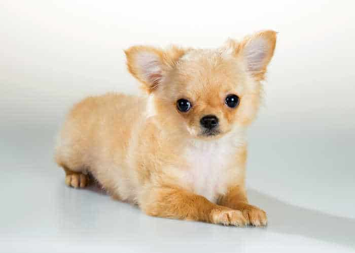 fawn long hair chihuahua puppy laying down