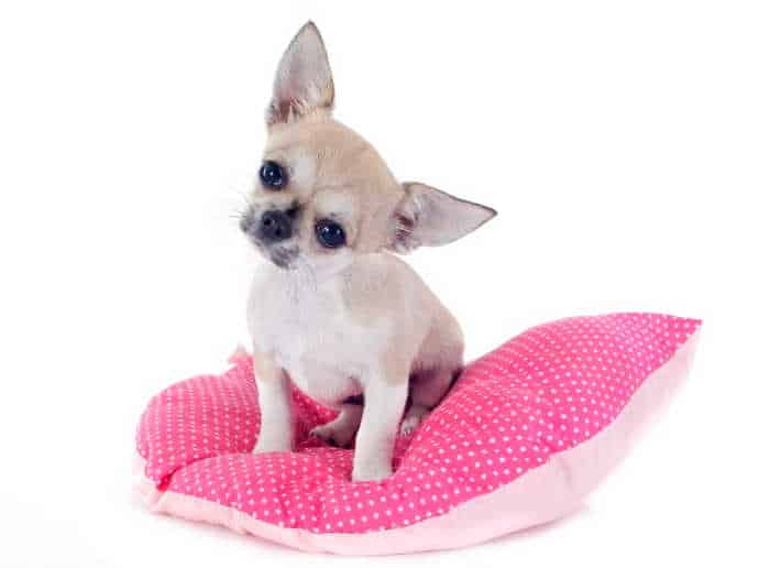 cute chihuahua puppy sitting on pink pillow in front of white background