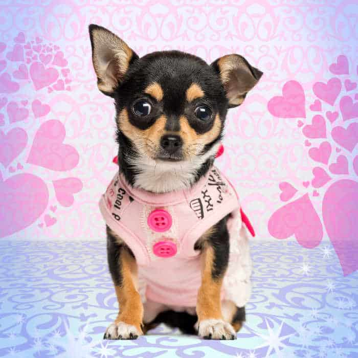 black and tan chihuahua puppy wearing a dress