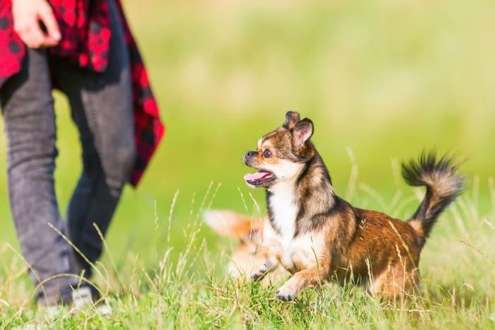 chihuahua running in grass