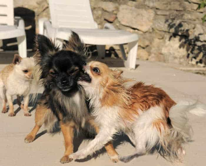 3 chihuahua dogs on patio with one attacking another one