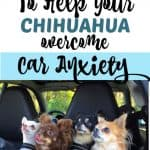 4 chihuahuas looking out the back of a car