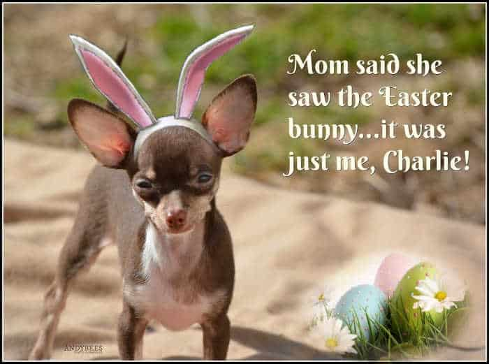 chihuahua with bunny ears on