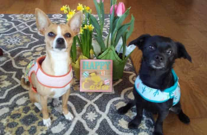 2 chihuahuas with pots of spring flowers between them