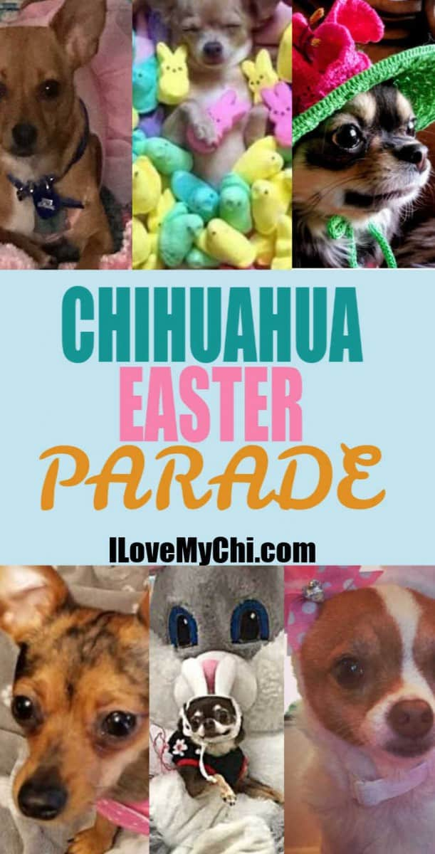 collage of Easter chihuahua photos