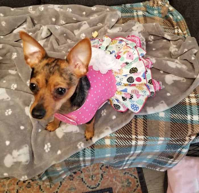 chihuahua in Easter egg dress