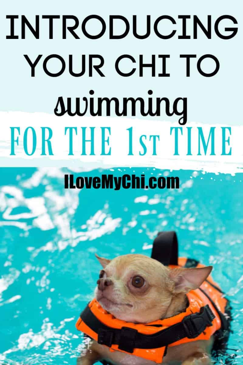 chihuahua swimming in pool