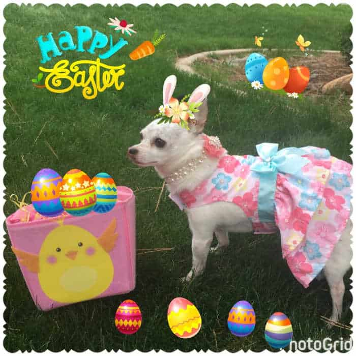 chihuahua in Easter dress in yard