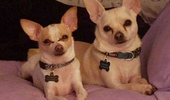 2 light colored chihuahuas laying side by side