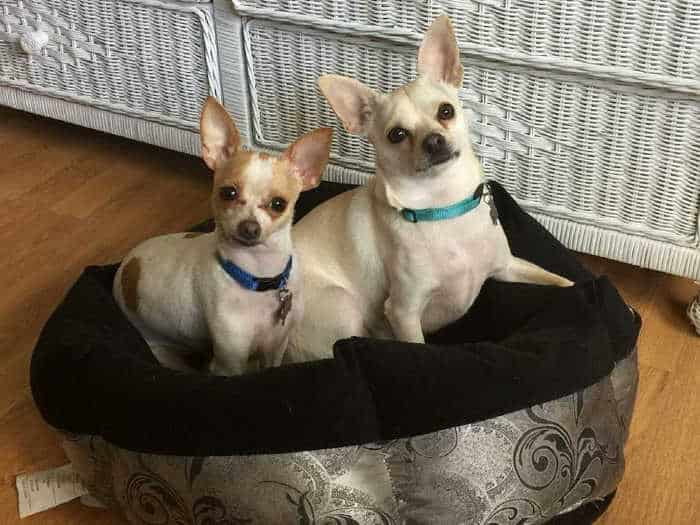 2 chihuahuas in a dog bed