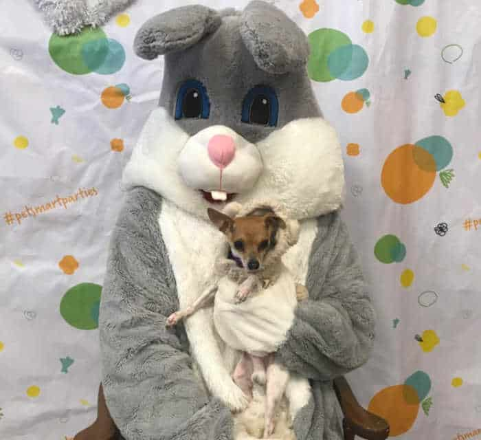 chihuahua being held by Easter bunny