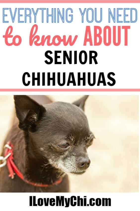 Senior chihuahua