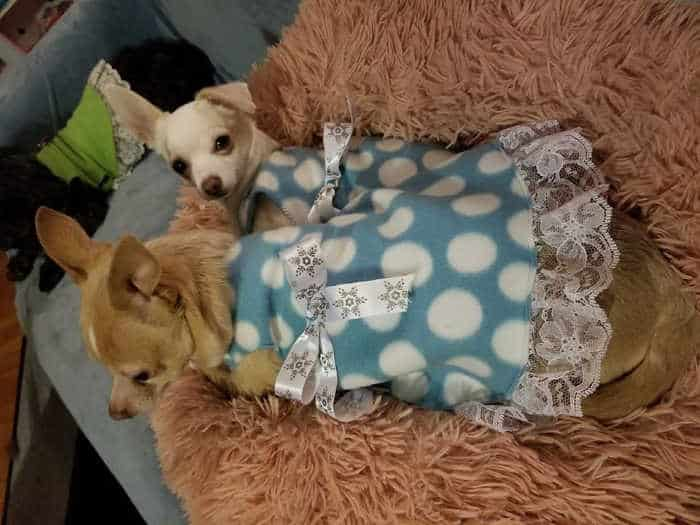 2 chihuahuas in polka dotted dresses