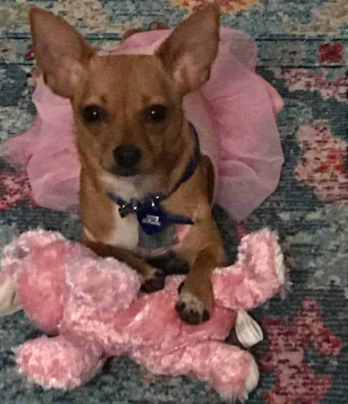 tan chihuahua in pink dress