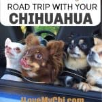 group of chihuahuas in a car window