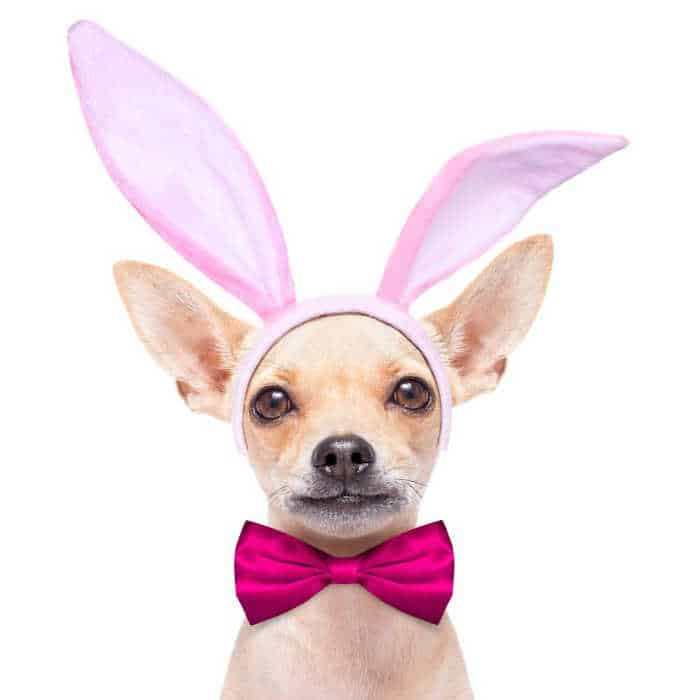 chihuahua with bunny ears and bow tie