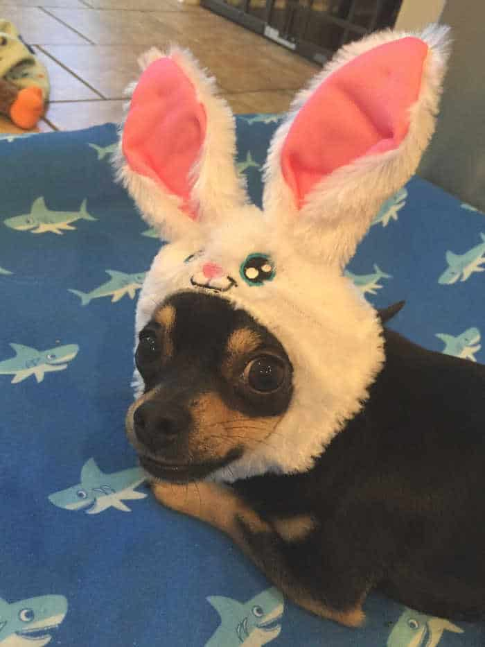 chihuahua wearing Easter bunny ears