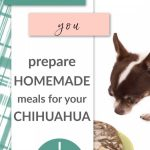 chihuahua by food bowl