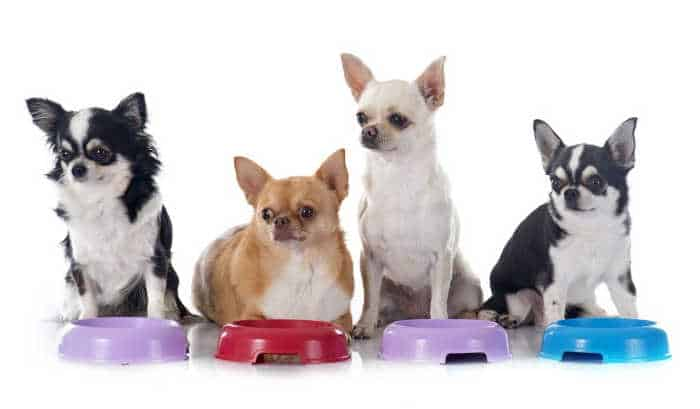 4 chihuahuas in front of food bowl