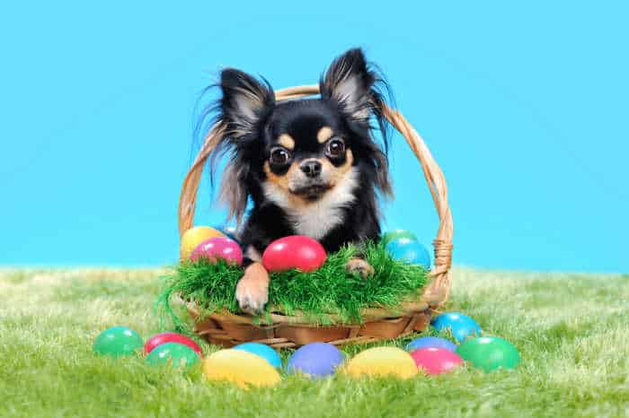 Chihuahua sitting in the basket with Easter eggs on the lawn
