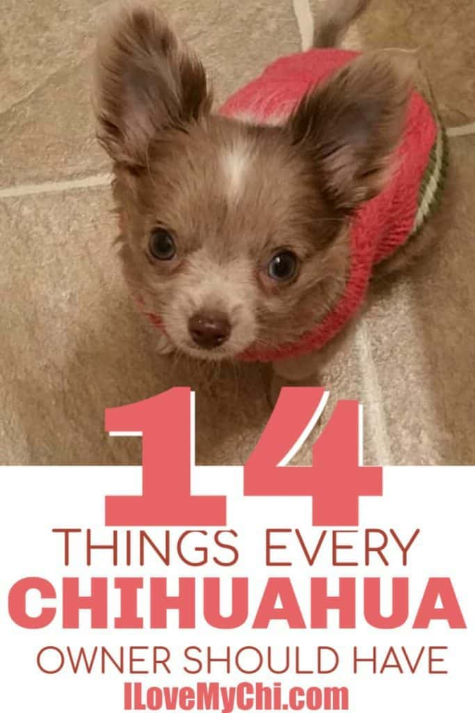 chihuahua puppy looking up