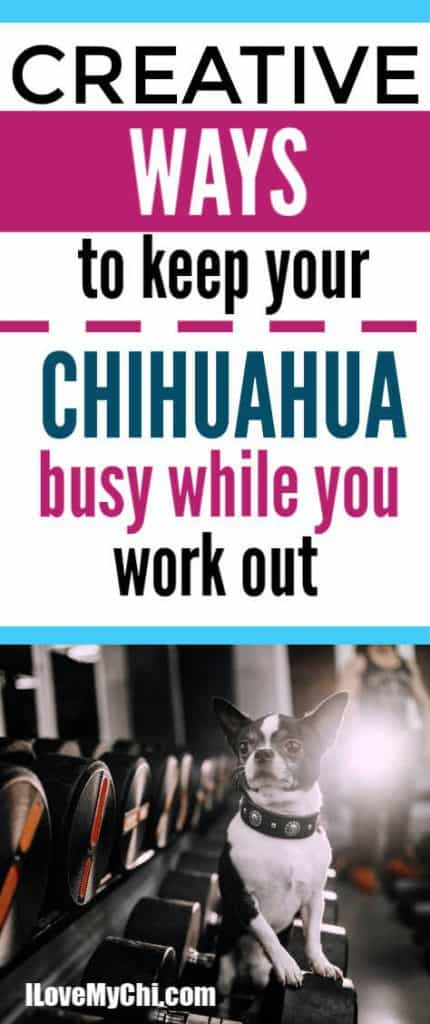 black and white chihuahua sitting on exercise dumb bells