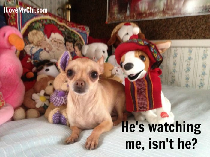 chihuahua with toy dog looking at him