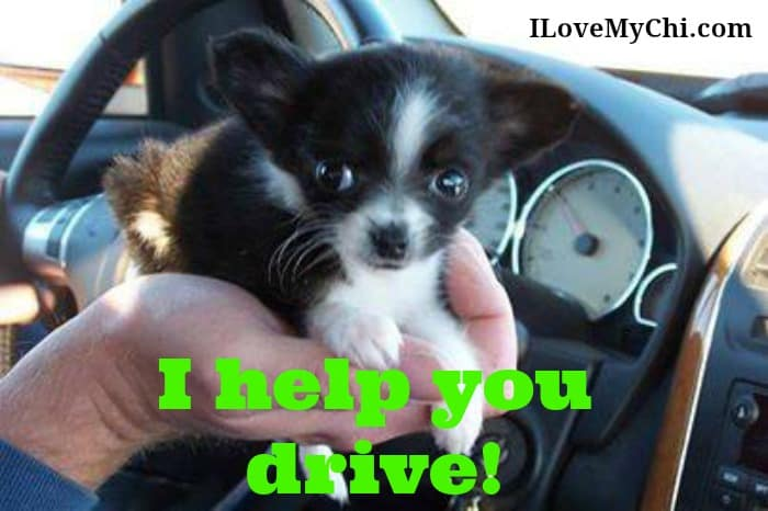 chihuahua puppy in car