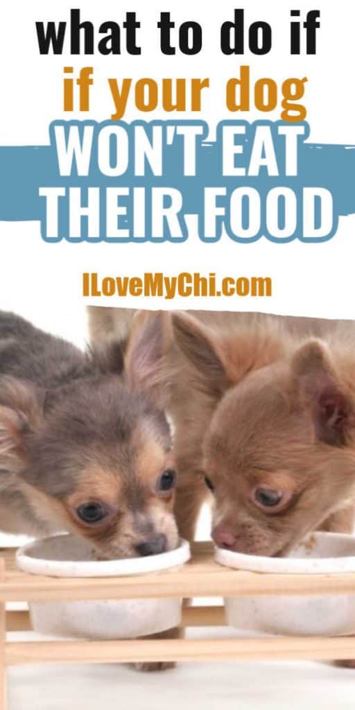 2 chihuahua dogs eating out of dog food bowls