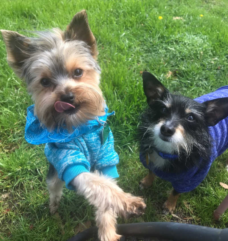 yorkshire terrier and chihuahua-yorkie mix wearing sweatshirts standing in grass
