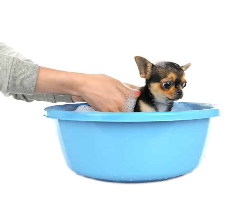 chihuahua puppy getting bath in blue tub