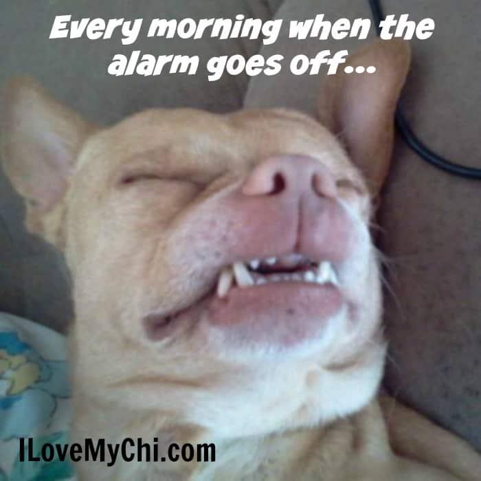 funny sleeping chihuahua