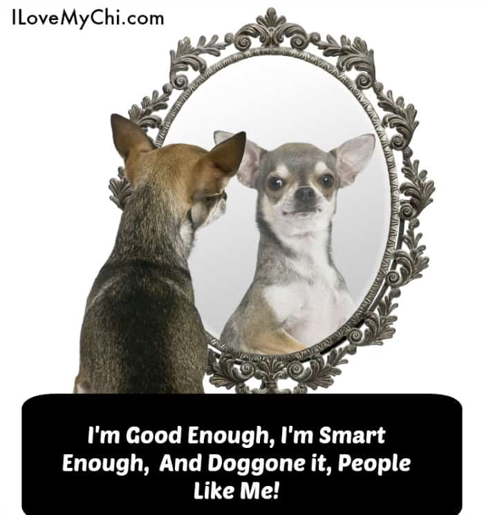 chihuahua in front of a mirror
