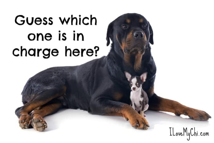 rottweiler with chihuahua