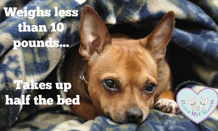 chihuahua in bed