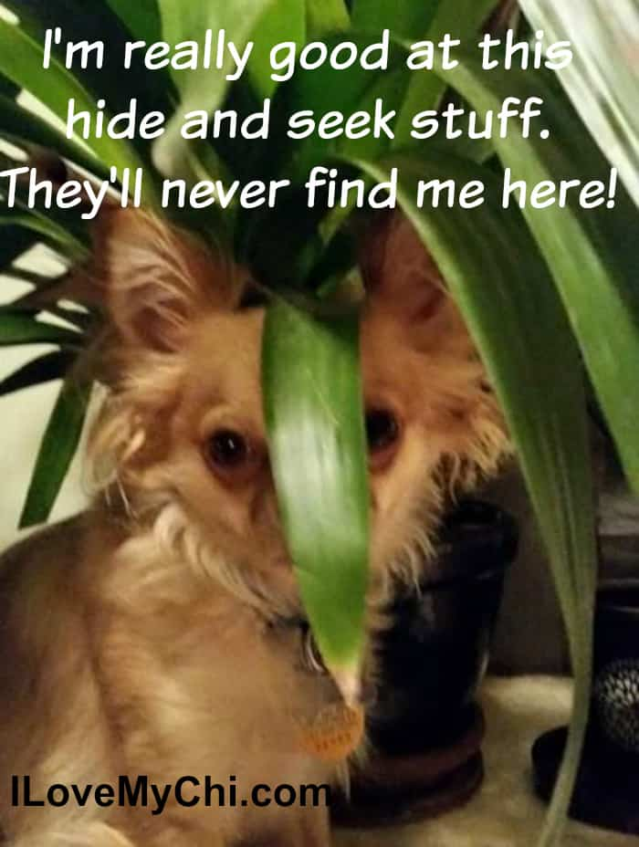 chihuahua dog hiding behind leaf