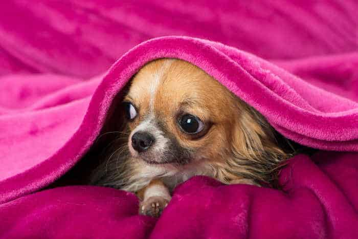 long hair chi under hot pink blanket