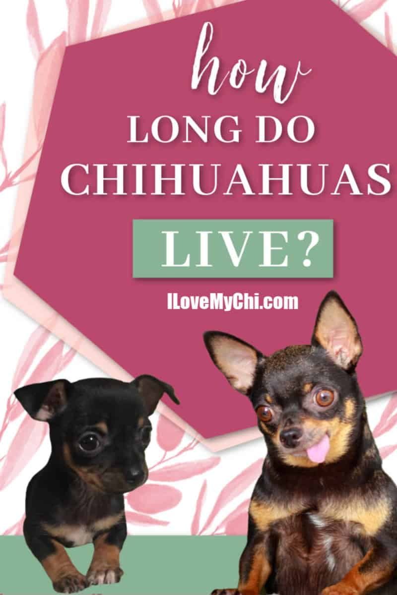 Chihuahua puppy and elderly chihuahua dog