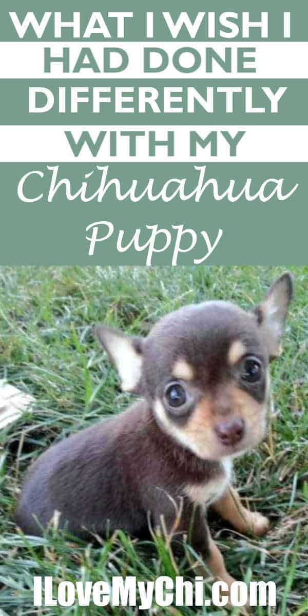 tiny chihuahua puppy sitting in grass