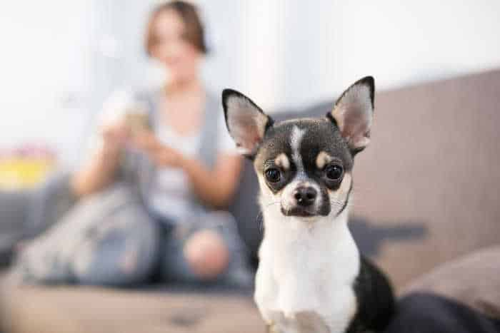 chihuahua with woman sitting in background