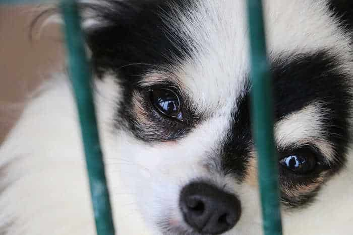 black and white chihuahua puppy face in cage